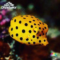 【aqua_diyarbakir】さんのInstagramをピンしています。 《💛 Pazartesi günüde bitti sayılır, herkese İyi Haftalar Olsun 💛 Happy Weekend 🌸🌸🌸🌸🌸🌸🌸🌸🌸🌸🌸🌸🌸🌸🌸🌸🌸🌸💛💛💛💛💛💛💛💛💛💛💛💛💛💛💛💛💛💛💛💛💛aquarium #fish #fishtank #jellyfish #water #saltwater #tank #coral #reef #freshwater #shark #sealife #ocean #sea #betta #diyarbakir #goldfish #reeftank #fishes #水族館 #aquascape #ripleys #clownfish #bettafish #plantedtank #marine #underwater #reefpack #akvaryum#aquatic》