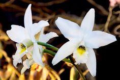 Laelia Anceps Var. Alba 'Aloha Starlight' X L. Anceps Var. Hillsii Blooming Size in Home & Garden, Yard, Garden & Outdoor Living, Plants, Seeds & Bulbs | eBay. Orchid