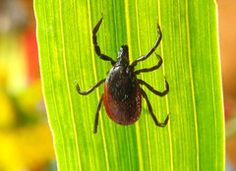 Off-the-Charts Anxiety: Is a Tick Bite Making You Nuts? My anxiety has been outrageous lately. Camping Survival, Survival Tips, Survival Skills, Panic Attack Treatment, Tick Bite, Science Daily, Toxic Mold, Off The Charts, Lyme Disease