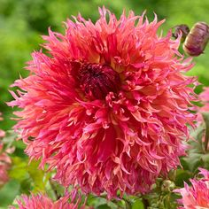 Dahlia Myrtles Folly. An American-bred dahlia that blends quilled and twisted petals for a casual charm.