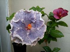 hibiscus Taiwan variety girl and Electric Blue