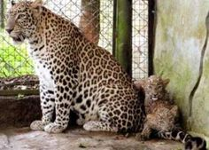 Two Leopard Cubs Born 3 Months ago in Trivandrum Zoo ~ Kerala Travel News