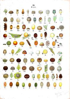 Insect eggs. Die Raupen der gross-schmetterlinge Europas (1893).