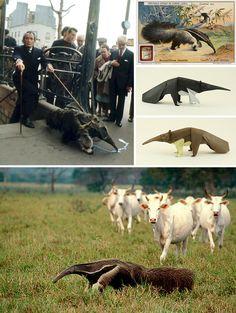 salvador/dali/anteater - Google Search