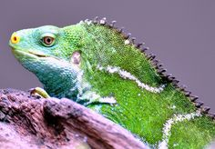 Crested Fijian Iguana