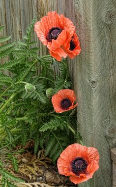 Just love thisphoto of poppies--remind me so much of my Grandma's yard with poppies growing everywhere!!