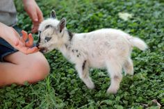 Once upon a time there was a goat named Lacey who had the littlest goat you ever did see. Lacey's goat birth went on to become a huge Broadway Musical...