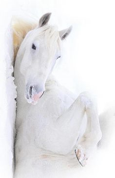 White horse rolling in the snow on his back. Such a pretty face!
