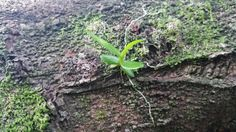 #The Little Dendrodium#WestBorneo#Singkawang#Indonesia#