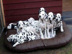 101? Dalmatiner  auf Ridgi-Pad Hundekissen