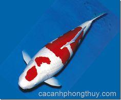 ca-koi-ca-chep-nhat-ban-kohaku Kohaku, Koi Carp, Goldfish, Animals And Pets, Whale, Colorful, Pets, Whales, Common Carp