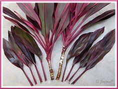 https://flic.kr/p/7zr6xG | Propagating Ti Plant (Cordyline terminalis): tip cuttings | Read how to propagate Ti Plant and more plant details here.