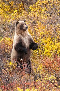 Grizzly bears fishing for salmon brooks falls katmai national park toklat grizzly denali natl park ak fandeluxe Gallery