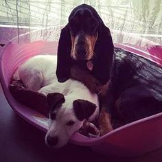 Des nouvelles de MELITA d'An Naoned  Femelle Basset bleu de Gascogne née le 26/04/16 (Houston d'An Naoned x Justin d'An Naoned) Photo  Mme Jouanne #basset #bassetbleudegascogne #doggy #jackrusell #jackrussells #jack #dog #chien #hund #pet #doglove #doglovers #bassetlovers #amourdechien #petpics #dogpics #bassetlove #bassetoftheday #dogoftheday #melita