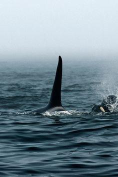 #orca killer #whales