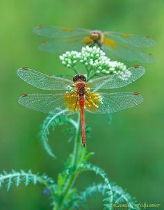 Dragonflies on Common Yarrow
