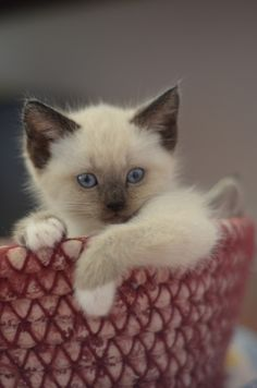"Blue Point Birman kitten.  Birmans are absolutely AWESOME to have.  They don't act like ""regular cats"".  These babies are different.  They do not act like you should wait on them.  They love to cuddle and play and have the sweetest personalities.  I've had 6 Birmans, and all were fabulous!"
