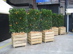 Espalier orange trees in planters
