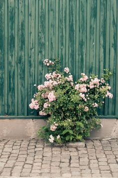 swedish summer in Gotland, Visby.  Roses <3