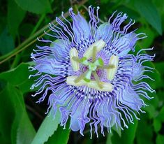 There are over 400 species of tropical passion flowers (Passiflora spp. If you live in an area where winters are too harsh for tender passion flower care, don? Flowers Perennials, Planting Flowers, Exotic Flowers, Beautiful Flowers, Purple Passion Flower, Summer Vine, Fotografia Macro, Giant Flowers, Unique Plants