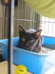 Audi is an adoptable Domestic Short Hair-Black Cat in Henderson, KY. I am ready for my new home! Please come save me today! My adoption fee includes ALL of the following: Spay/Neuter, Microchip I.D., ...