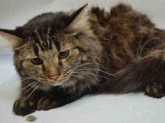SAFE 5/30/17 ATHENA came into the shelter as a stray - is not a happy camper - needs a home!  Already spayed!