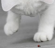 chat blanc, coccinelle