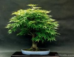 How to Grow Your Own Marijuana Bonsai Tree - Step-by-Step Guide Marijuana Plants, Cannabis Plant, Growing Herbs, Growing Tree, Maple Bonsai, Indoor Bonsai, Cactus, Miniature Trees, Gardens