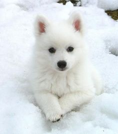 That is exactly what Nikki looked like when we brought her home. Can't wait to get another American Eskimo puppy. Miniature American Eskimo, American Eskimo Puppy, Cute Puppies, Cute Dogs, Dogs And Puppies, Doggies, Beautiful Dogs, Animals Beautiful, Japanese Spitz Puppy