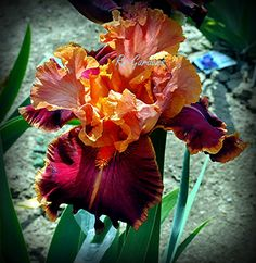 IMPRESSIONIST  Tall Bearded Iris  Dug cleaned & by RNgardens, $9.99
