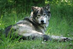 Pacific Wolf Coalition - Protecting Wolves in the Pacific West