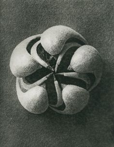 Karl Blossfeldt, Blumenbachia hieronymi (Loasaceae, open capsule), © Karl Blossfeldt Archiv / Stiftung Ann und Jürgen Wilde, Pinakothek der Moderne, München.