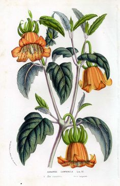 Stunning old colour print of an iconic Canary Islands flower.