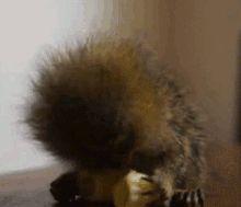 Cute Little Animal gifs | Pygmy marmoset having a snack. Love the do!