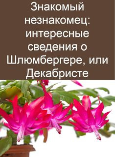 Christmas Cactus, Food And Drink, Garden, Plants, House, Ideas, Flowers, Cactus, Losing Weight