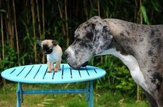 World's tallest and smallest ... dogs, that is World's Tallest Dog, Four Legged, Large Dogs, Goats, Best Friends, Animals, Gran Danes, Beat Friends, Big Dogs