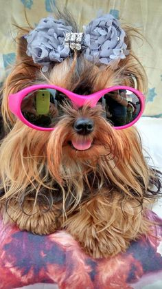 Yorkie with pink sunglasses.