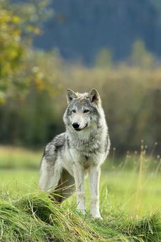 Alaska Wildlife Conservation Center Photograph - Female Gray Wolf Canis Lupus by Doug Lindstrand