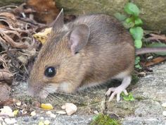 field mouse - Google Search