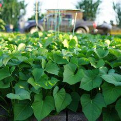 Garden Garden Plants Vegetable, Garden Soil, Raised Garden Beds, Spinach Juice, Growing Marigolds, Growing Greens, Garden Workshops, Canning Tomatoes