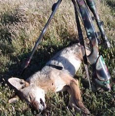 Calling in a Coyote with a tube call including the sound files Sound Files, Varmint Hunting, Predator Hunting, Fishing, Animals, Free, Animales, Animaux, Animal