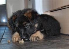 Just like to say what a great product fish4dogs is. Our GSD Enya was weaned onto the puppy food and loves the sea jerky as can be seen from when she was a pup. Her skin is in great condtion and her coat has such great shine to it. I would recomend this product to any one. Richard and Lisa Collins