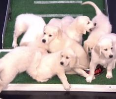 Jimmy Fallon's puppy predictors make their call for Super Bowl LI on the Tonight Show, a bald eagle is expected to be released back into the wild after recovering form being caught in a snare, camera traps show a new population of an endangered monkey and more animal news.  Pet Scoop: Puppies Make Super Bowl LI Prediction, Bald Eagle Rescued From Trap     http://petmidas.com/2017/02/03/pet-scoop-puppies-make-super-bowl-li-prediction-bald-eagle-rescued-from-trap/