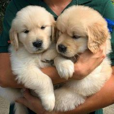 9 golden retriever young puppies after a pup massage. The Result Of A Puppy Massage Nine golden retriever puppies after a puppy massage. Cute Baby Dogs, Cute Little Puppies, Cute Dogs And Puppies, Cute Little Animals, Cute Funny Animals, Doggies, Puppies Puppies, Adorable Dogs, Dogs Golden Retriever