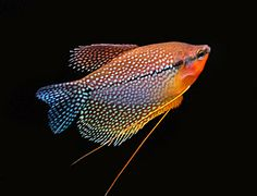 Picture of Pearl Gourami