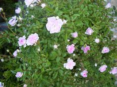 pink little roses