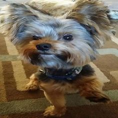 ~ Daily Dose of Cuteness ~  Chewy ❤️️ (Shared by Christy O'DellY) #DogoftheDay http://aboutmorkies.com/ Follow us: Facebook.com/YorkiesMorkiesMaltese Twitter.com/morkienation #dog #doglovers #animals #pets #yorkies #yorkie #yorkielovers #petlovers #dogowners #puppy #adorablepets #sillydogs #smallanimals #instadogs #instayorkie #instapuppy #instaanimals #petsofinstagram #dogsofinstagram #yorkieofinstagram #puppylove #animallovers #ilovemypet #ilovemyyorkie #igdogs #igpets #yorkshireterier