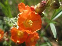 Utah Wildflowers- blooms between may and August
