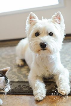 West Highland Terrier in a pet  feathers and a nice Westie head