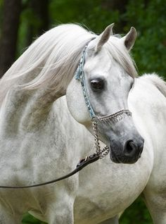 Talaria Farms - Arabian Horse
